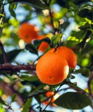 Geurolie - Sinaasappel - 50 ml