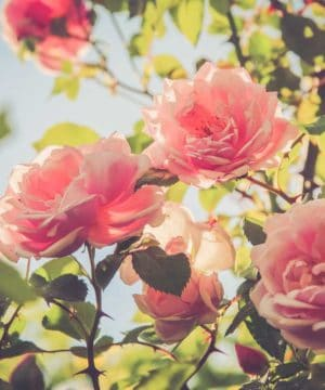 Duftöl - Ägyptische Rose - 50 ml