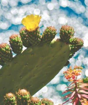 Geurolie - Cactus Bloem - 100 ml