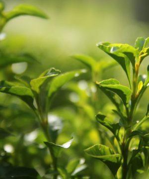 Fragrance Oil - Tè Verde e Cetriolo - 100 ml