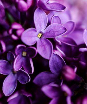 Aceite de fragancia - Violeta nocturna - 100 ml