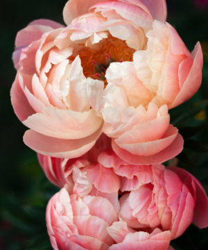 Fragrance Oil - Peony and Amber Wood - 100 ml