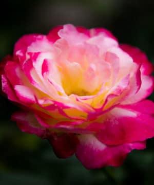 Olio profumato - Geranio rosa - 100 ml