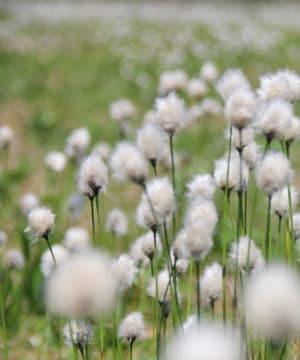 Geurolie - Cottongrass - 100 ml