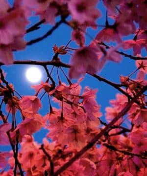 Geurolie - Granaatappel Bij Maanlicht