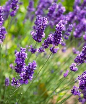 Geurolie - Lavendel - 10 ml